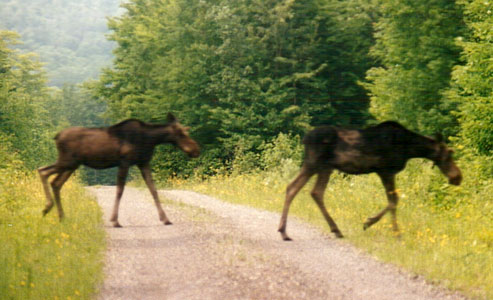 2 moose cross the road