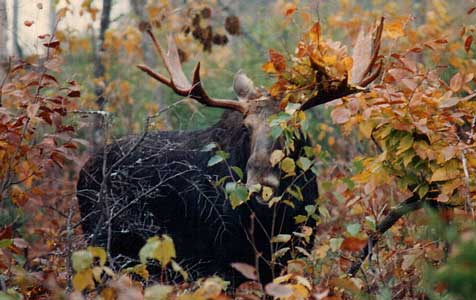 moose in foliage